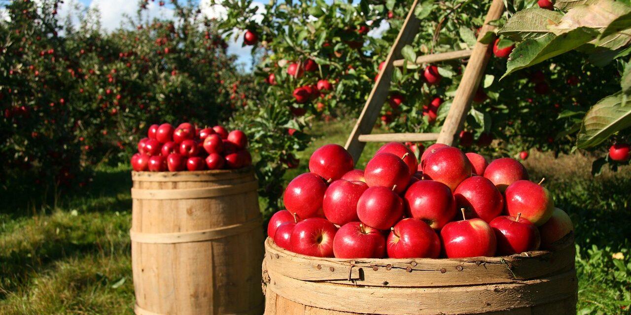 Sådan vælger du det rigtige æbletræ