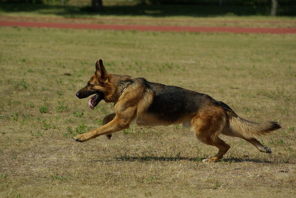 Løbende schæferhund