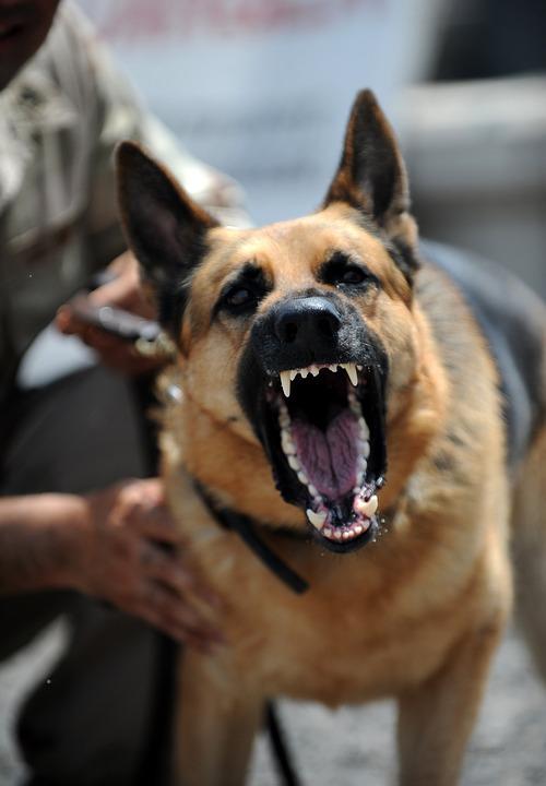 Schæferhund der gør